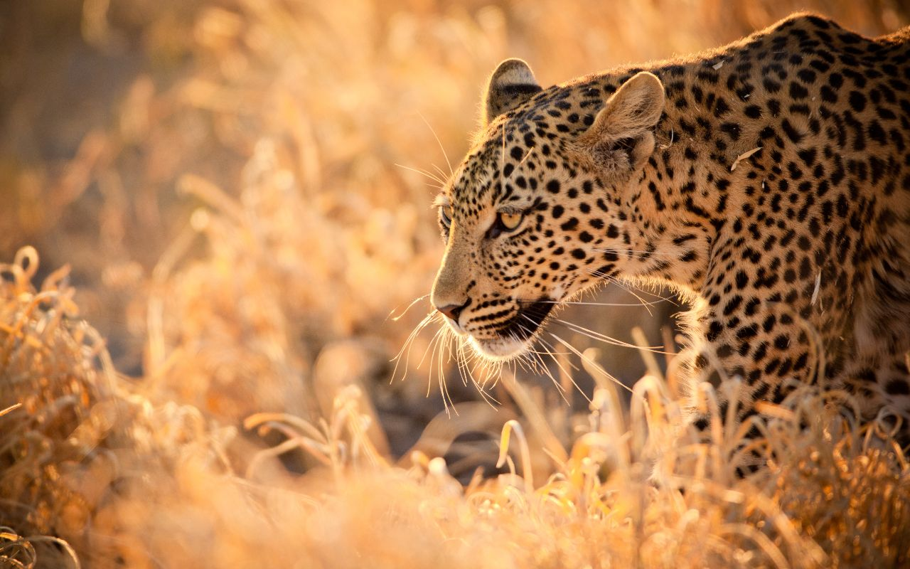 faune sud-africaine - Léopard - big five kuger - voyage afrique du sud