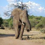 Eléphant - afrique du sud - terra south africa