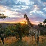 Girafe - afrique du sud - terra south africa