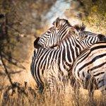 Zèbres - afrique du sud - terra south africa