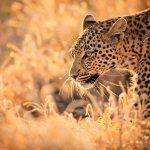 Léopard - afrique du sud - terra south africa