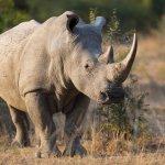 Rhinocéros blanc - afrique du sud - terra south africa