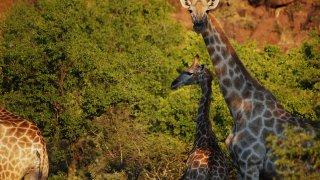 Girafes Afrique du Sud - terra south africa
