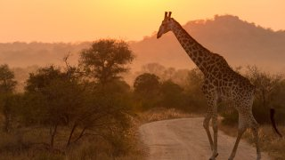 Girafe Afrique du Sud - terra south africa