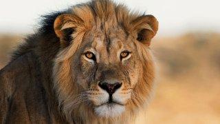 lion - voyage afrique du sud - terra south africa