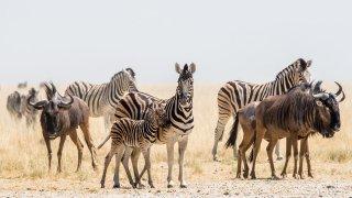 zèbres afrique du sud - terra south africa