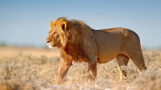lion afrique du sud - terra south africa