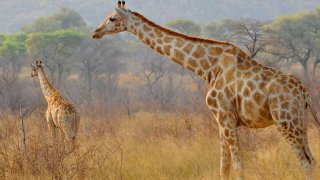 circuits thématiques afrique du sud - Girafes - terra south africa