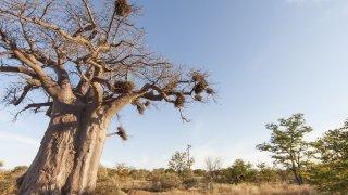 baobab - afrique du sud voyage organisé - terra south africa