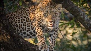 léopard afrique du sud - voyage sur mesure - terra south africa