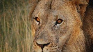 lion afrique du sud - voyages sur mesure - terra south africa