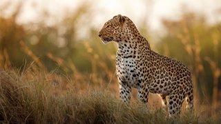 léopard afrique du sud - voyages sur mesure - terra south africa
