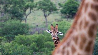 girafes - voyage afrique du sud - terra south africa